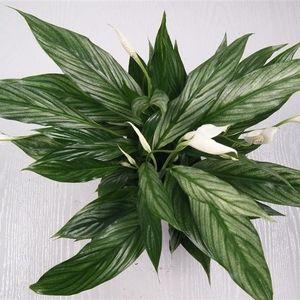 Spathiphyllum SILVER CUPIDO (Westland Plant)