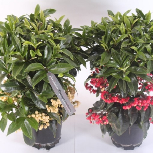 Ardisia crenata (Experts in Green)
