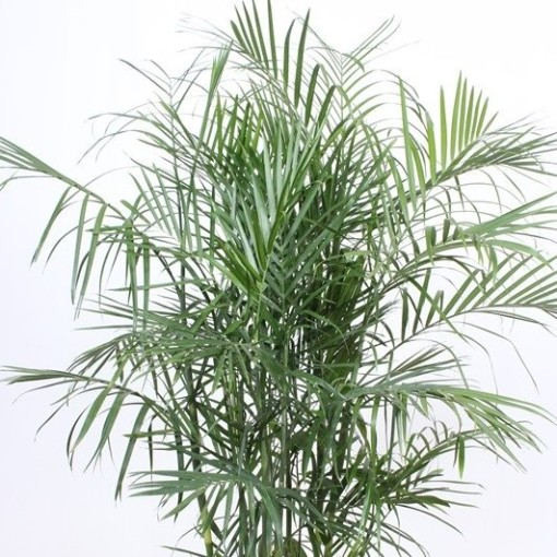 Chamaedorea seifrizii (Fachjan)