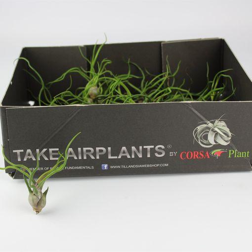 Tillandsia bulbosa (Corsa plant)