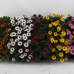 Osteospermum MIX (Kwekerij Jan van der Knaap)