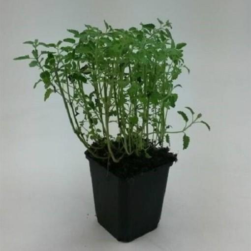 Nepeta x faassenii (WTM de Boer)
