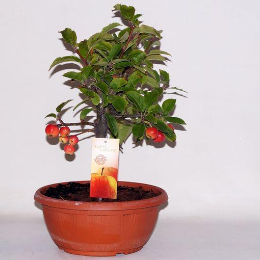 Malus x domestica (BOGREEN Outdoor Plants)
