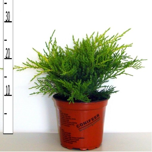 Juniperus x pfitzeriana 'Old Gold' (Boomkwekerij Potcultuur Gebr. Rademaker)