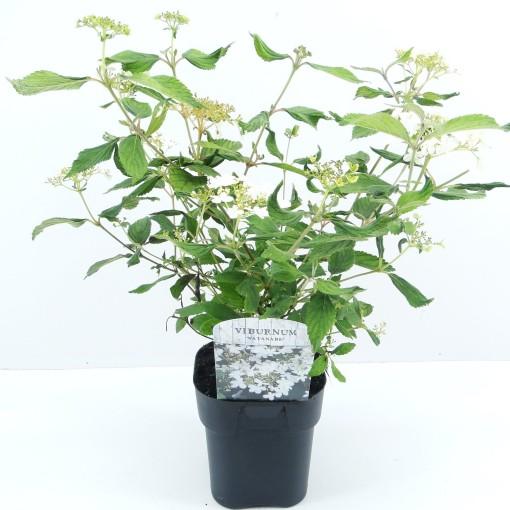 Viburnum plicatum 'Watanabe' (Hooftman boomkwekerij)