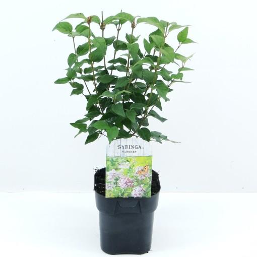 Syringa microphylla 'Superba' (Hooftman boomkwekerij)
