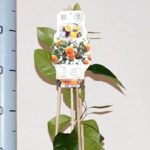 Citrus sinensis 'Orangin' (BOGREEN Outdoor Plants)