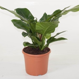 Philodendron 'Imperial Green' (Ammerlaan, The Green Innovater)