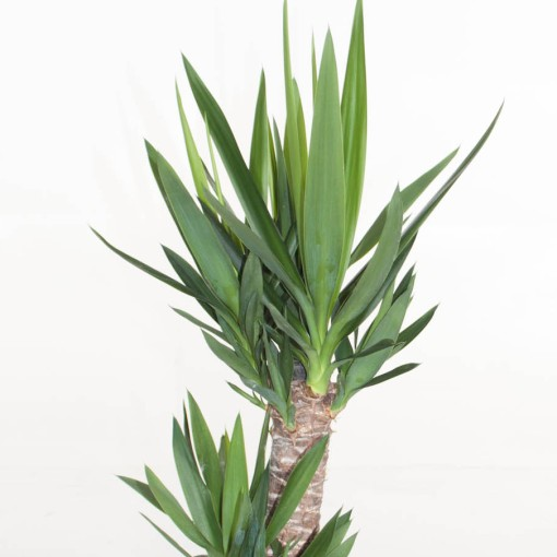 Yucca elephantipes (Ammerlaan, The Green Innovater)