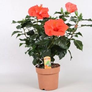 Hibiscus rosa-sinensis SUNNY BORDEAUX