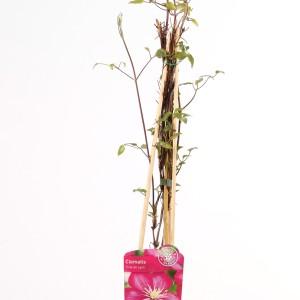 Clematis 'Ville de Lyon' (Hoogeveen Plants)