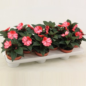 Impatiens COLORPOWER CORAL FLAME