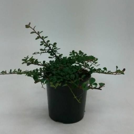 Cotoneaster procumbens 'Queen of Carpets' (WTM de Boer)