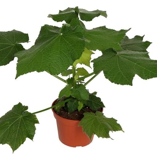 Sparrmannia africana (OK Plant)