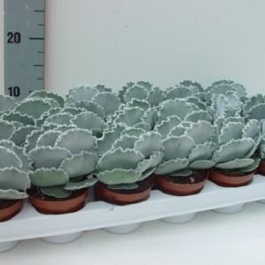 Cotyledon undulata