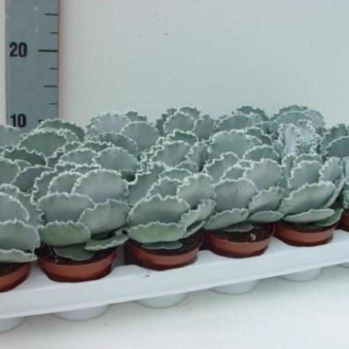 Cotyledon undulata (van der Hoorn Succulenten)