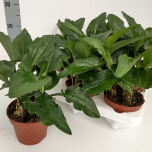 Drimiopsis maculata (RuBa Baers)