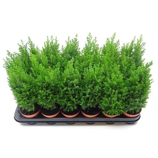 Chamaecyparis lawsoniana 'Ellwoodii' (J. de Vries Potplantencultures BV)