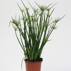 Cyperus haspan (Gasa DK)