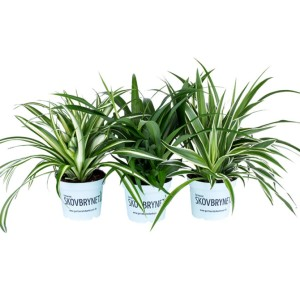 Chlorophytum MIX