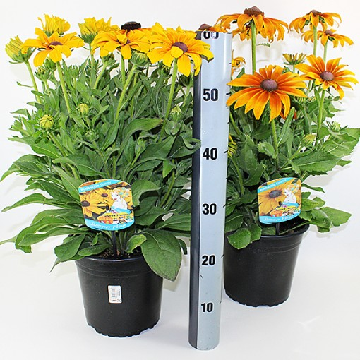 Rudbeckia hirta SUNBECKIA MIX (Experts in Green)