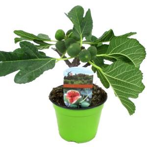 Ficus carica (Luiten kwekerij)