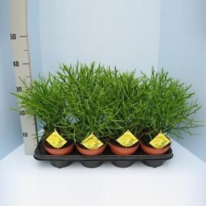 Euphorbia x lambinoniana