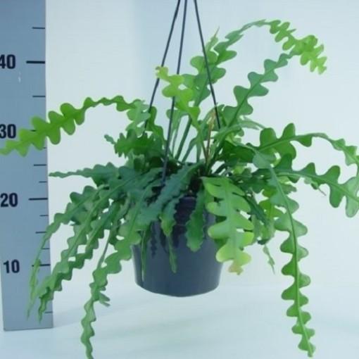 Epiphyllum anguliger (van der Hoorn Succulenten)