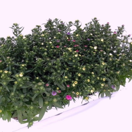 Aster MYSTERY LADY MIX (Experts in Green)