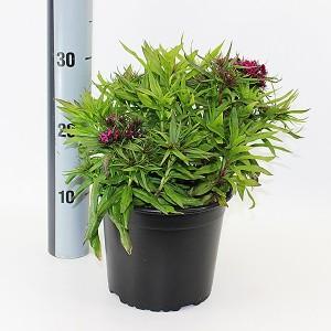 Dianthus barbatus MIX