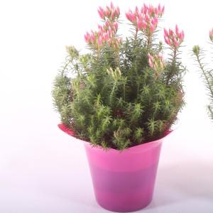 Erica ventricosa