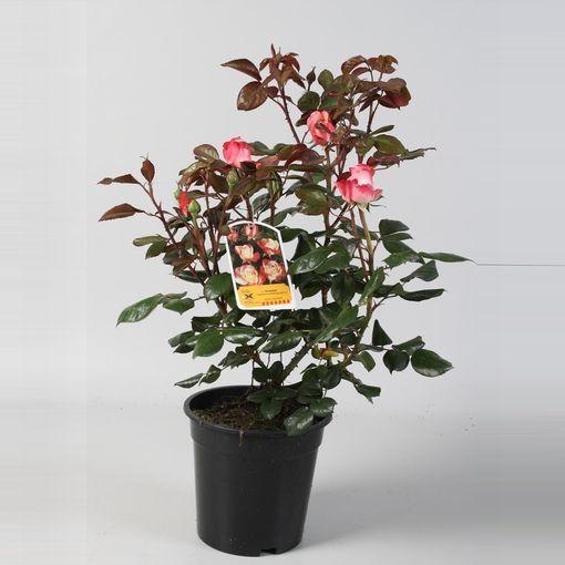 Rosa NOSTALGIE (FBB Plant)