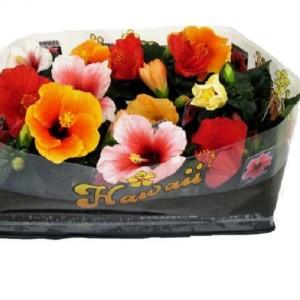Hibiscus rosa-sinensis 'Hawaii'