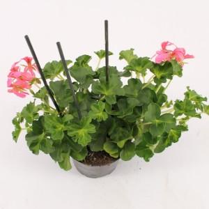 Pelargonium 'Decora Rosa'