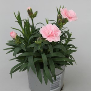 Dianthus OSCAR LIGHT PINK