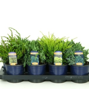 Juniperus MIX (Kwekerij Vredebest)