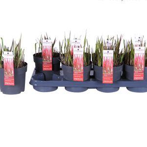 Imperata cylindrica 'Red Baron' (Hoogeveen Plants)