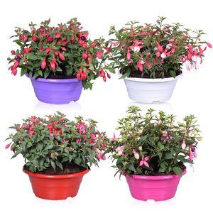 Fuchsia BELLA MIX