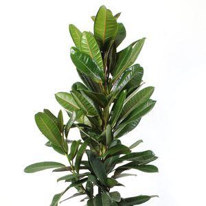 Ficus americana 'Tresor'
