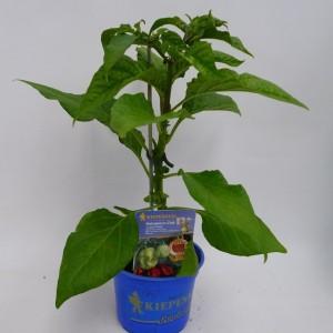 Capsicum annuum 'Calita Red'
