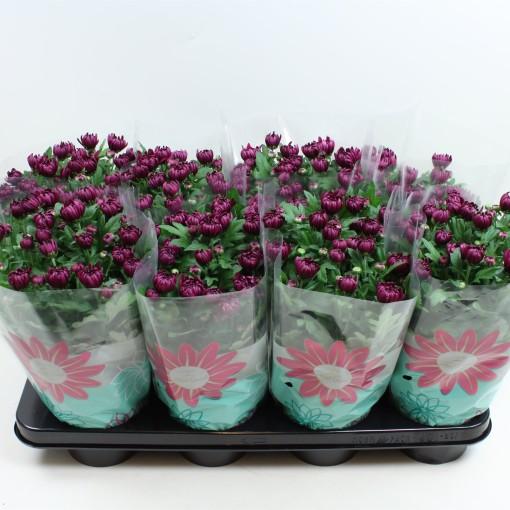 Chrysanthemum CHRYSTAL PURPLE (Gebr Nederpel Potplanten)