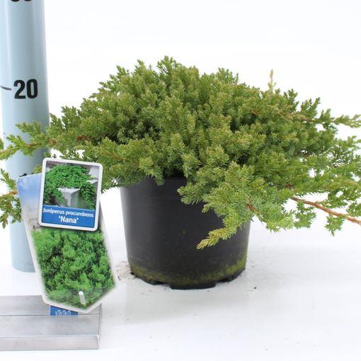 Juniperus procumbens 'Nana' (About Plants Zundert BV)