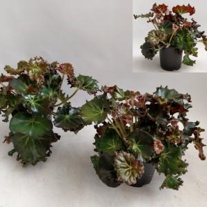 Begonia x erythrophylla 'Bunchii'