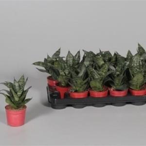 Sansevieria trifasciata 'Green Hahnii'