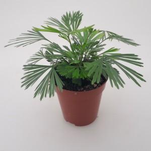 Actiniopteris australis (Handelskwekerij van der Velden)