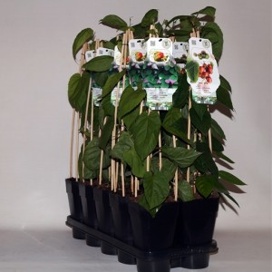 Actinidia MIX (BOGREEN Outdoor Plants)