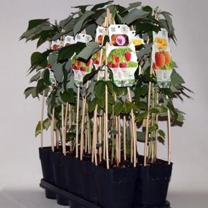 Rubus idaeus MIX (BOGREEN Outdoor Plants)