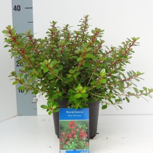 Escallonia 'Red Dream' (About Plants Zundert BV)