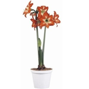 Hippeastrum 'Christmas Star' (Vreugdenhil Bulbs & Plants)