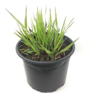 Panicum virgatum 'Külsenmoor' (Oprins Plant)